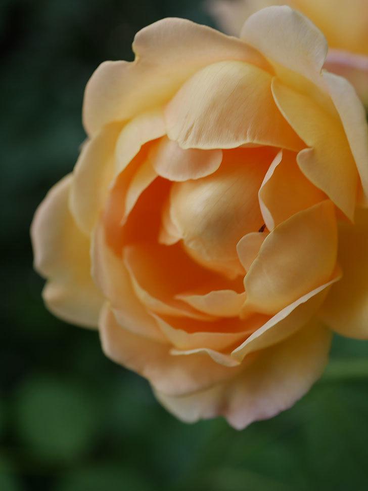ゴールデン・セレブレーション(Golden Celebration)の残ってた花が咲いた。2020-022.jpg
