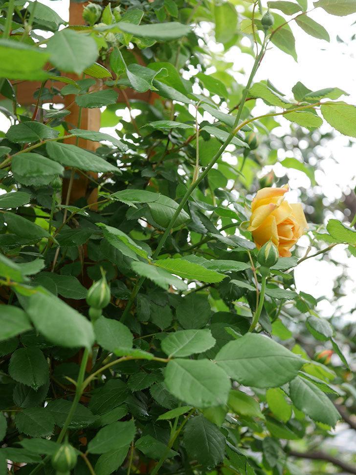 ゴールデン・セレブレーション(Golden Celebration)の花が1個咲いた。ツルバラ。2021年-001.jpg