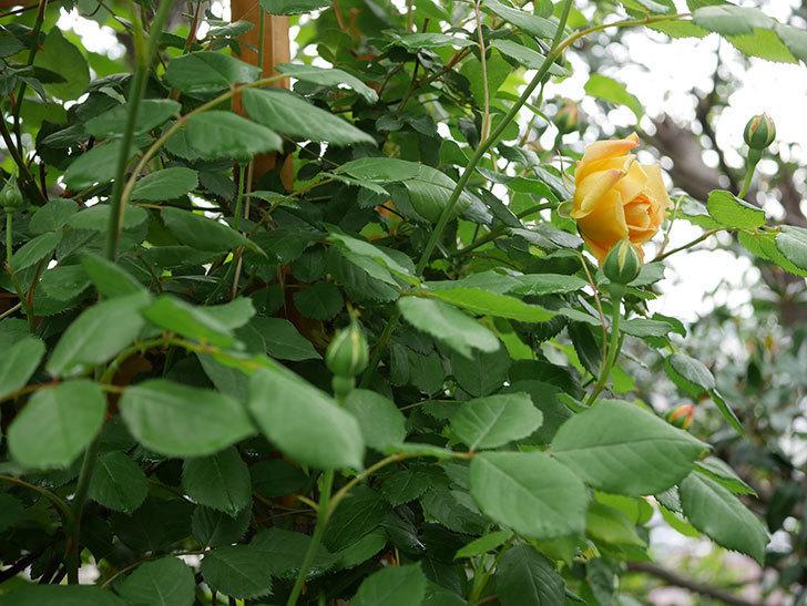 ゴールデン・セレブレーション(Golden Celebration)の花が1個咲いた。ツルバラ。2021年-002.jpg
