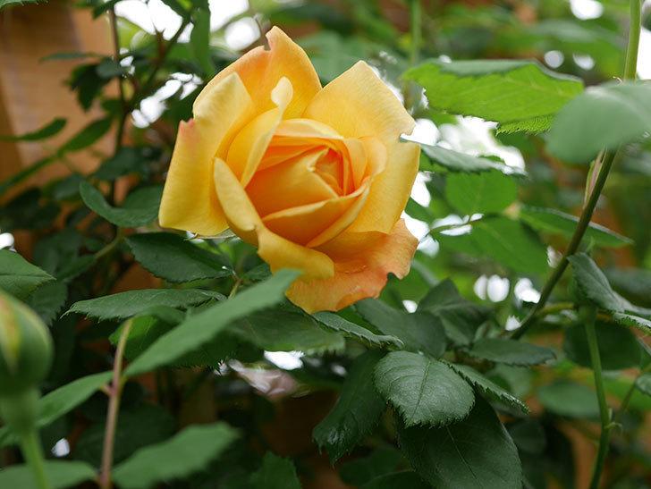 ゴールデン・セレブレーション(Golden Celebration)の花が1個咲いた。ツルバラ。2021年-003.jpg