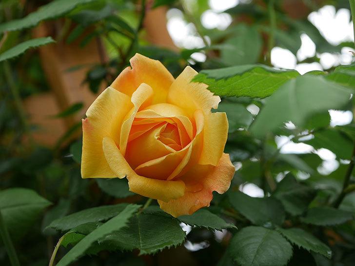 ゴールデン・セレブレーション(Golden Celebration)の花が1個咲いた。ツルバラ。2021年-004.jpg