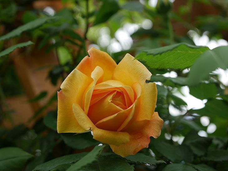 ゴールデン・セレブレーション(Golden Celebration)の花が1個咲いた。ツルバラ。2021年-005.jpg