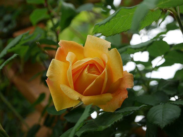 ゴールデン・セレブレーション(Golden Celebration)の花が1個咲いた。ツルバラ。2021年-006.jpg