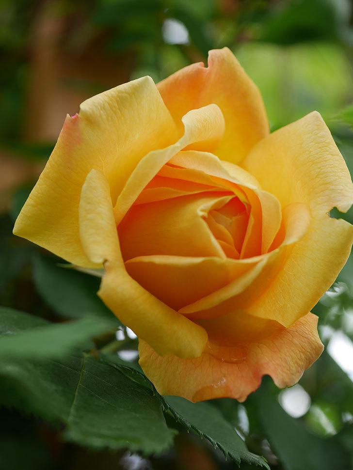 ゴールデン・セレブレーション(Golden Celebration)の花が1個咲いた。ツルバラ。2021年-007.jpg