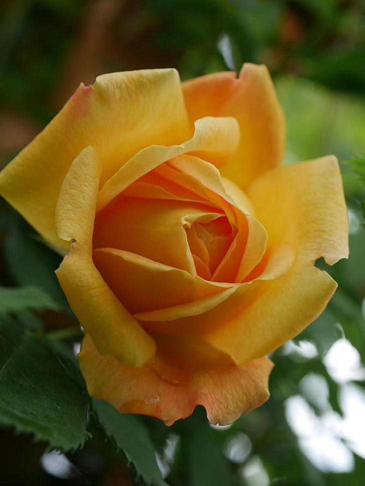 ゴールデン・セレブレーション(Golden Celebration)の花が1個咲いた。ツルバラ。2021年-008.jpg