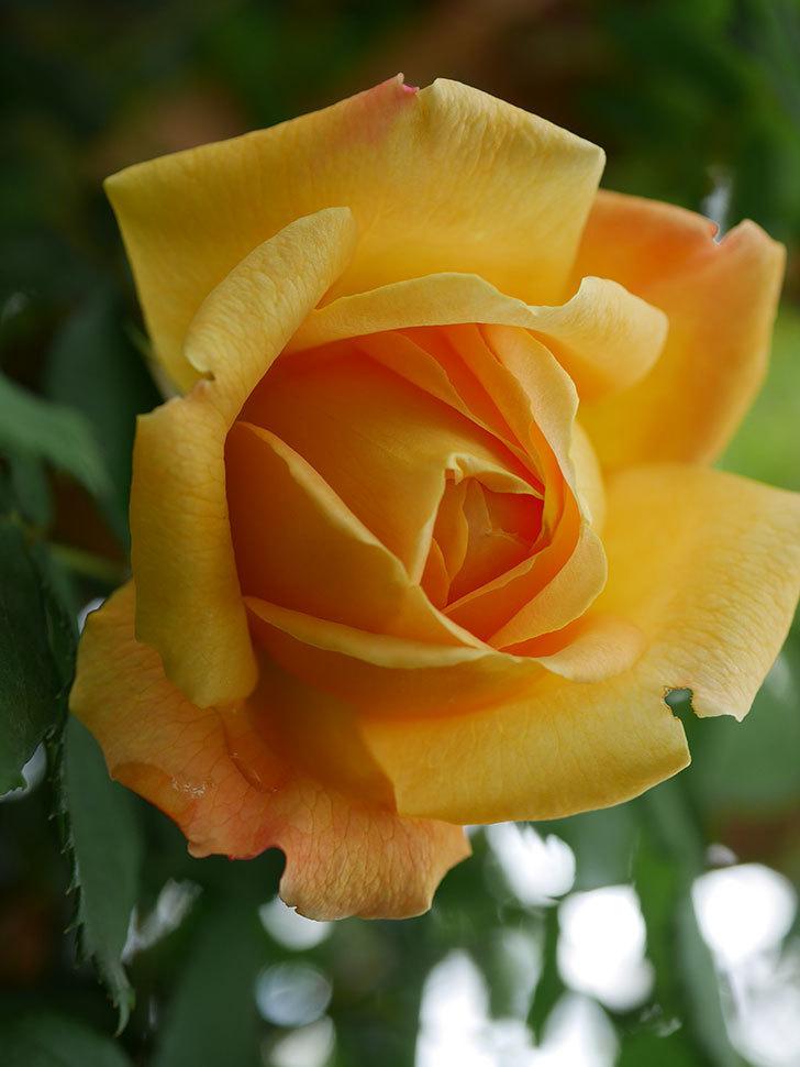 ゴールデン・セレブレーション(Golden Celebration)の花が1個咲いた。ツルバラ。2021年-009.jpg