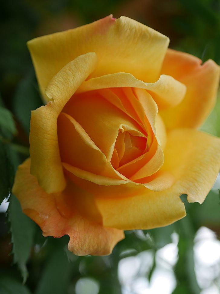 ゴールデン・セレブレーション(Golden Celebration)の花が1個咲いた。ツルバラ。2021年-010.jpg