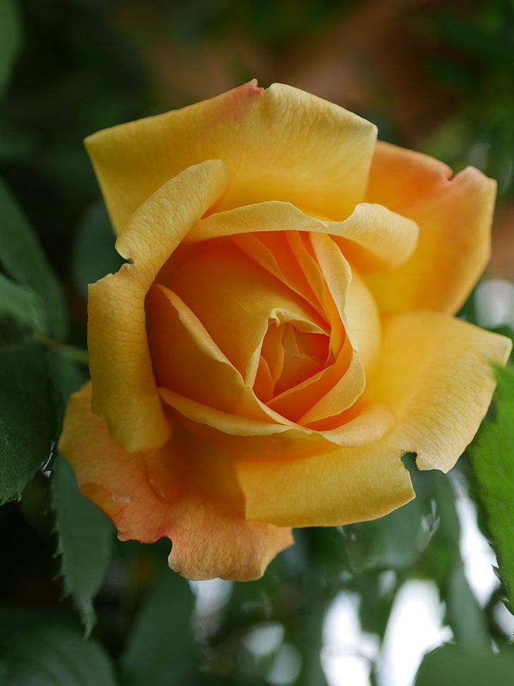 ゴールデン・セレブレーション(Golden Celebration)の花が1個咲いた。ツルバラ。2021年-011.jpg