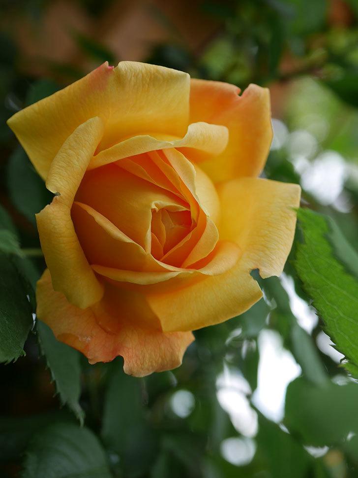 ゴールデン・セレブレーション(Golden Celebration)の花が1個咲いた。ツルバラ。2021年-012.jpg