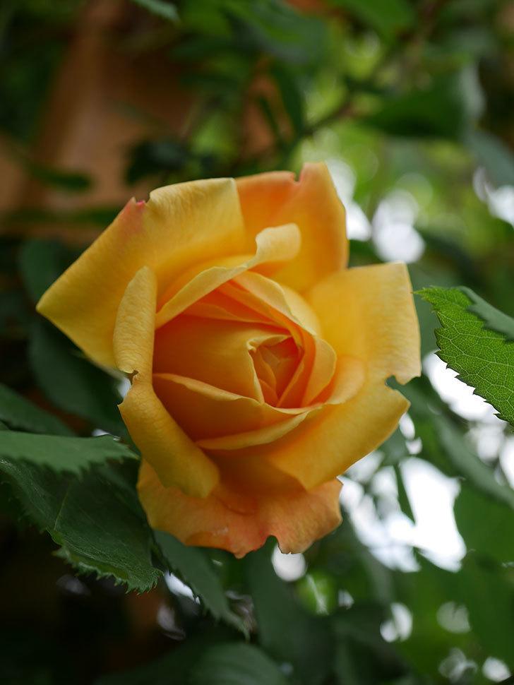 ゴールデン・セレブレーション(Golden Celebration)の花が1個咲いた。ツルバラ。2021年-013.jpg