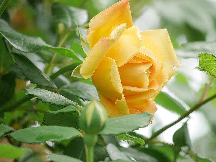 ゴールデン・セレブレーション(Golden Celebration)の花が1個咲いた。ツルバラ。2021年-024.jpg