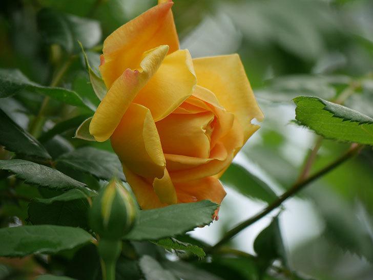 ゴールデン・セレブレーション(Golden Celebration)の花が1個咲いた。ツルバラ。2021年-025.jpg