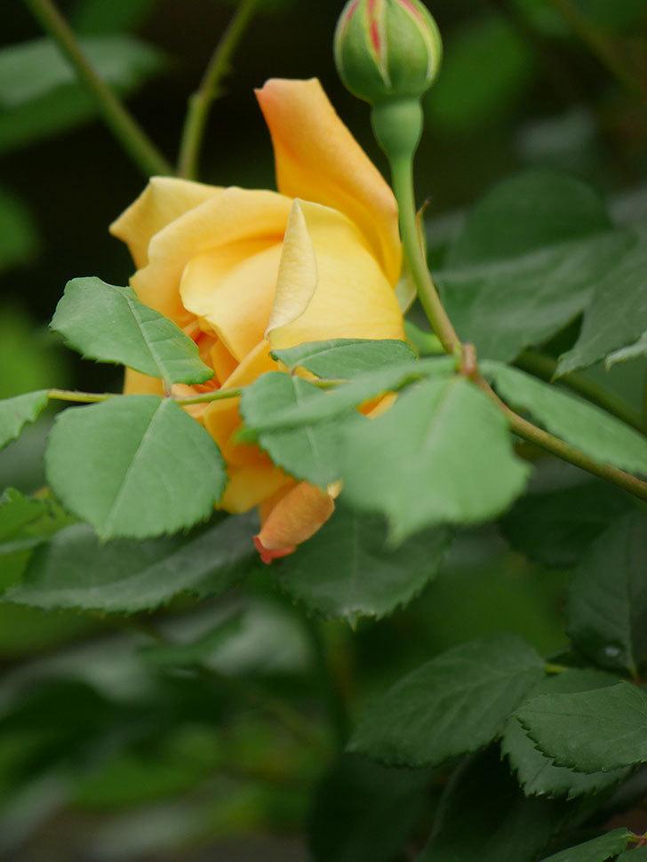 ゴールデン・セレブレーション(Golden Celebration)の花が1個咲いた。ツルバラ。2021年-027.jpg