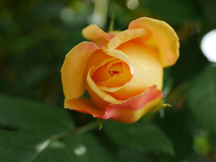 ゴールデン・セレブレーション(Golden Celebration)の花が少し咲いた。ツルバラ。2021年-007.jpg