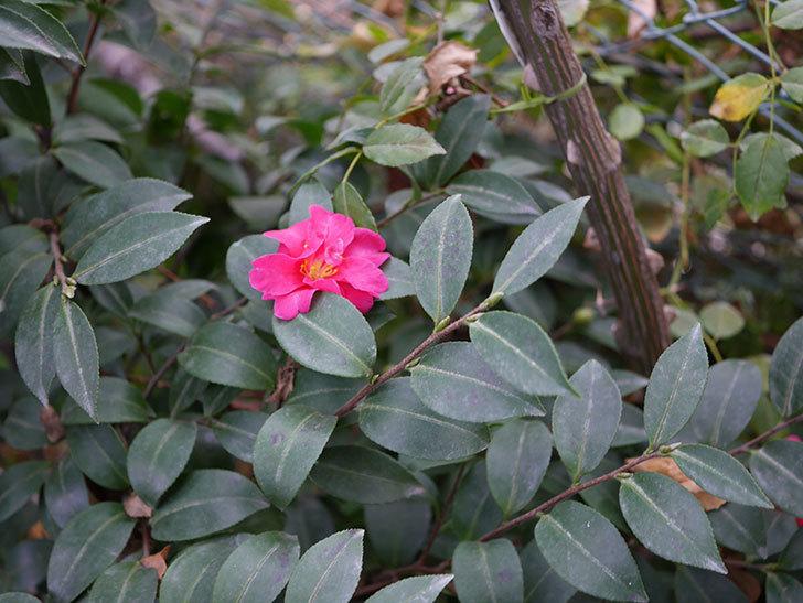 サザンカが咲いた。2020年-004.jpg