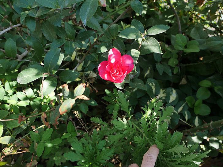 サザンカの花が1個だけ咲き出した。2017年-3.jpg