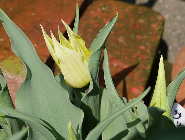 サッポロ(チューリップ)の花が少し咲いた。2018年-1.jpg