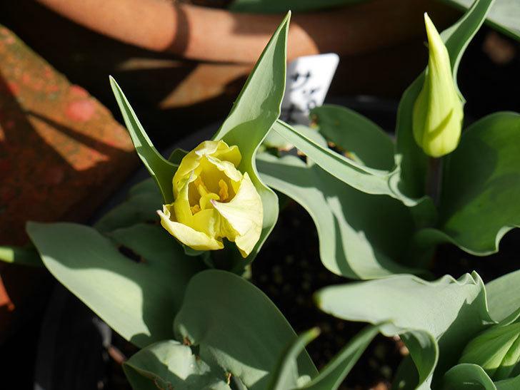 サッポロ(チューリップ)の花が少し咲いた。2018年-4.jpg