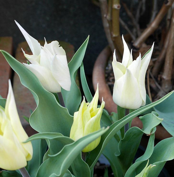 サッポロ(チューリップ)の花が白くなってきた。2018年-2.jpg