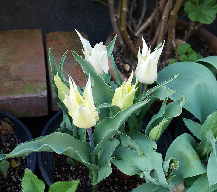 サッポロ(チューリップ)の花が白くなってきた。2018年-3.jpg