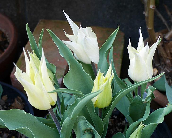 サッポロ(チューリップ)の花が白くなってきた。2018年-4.jpg