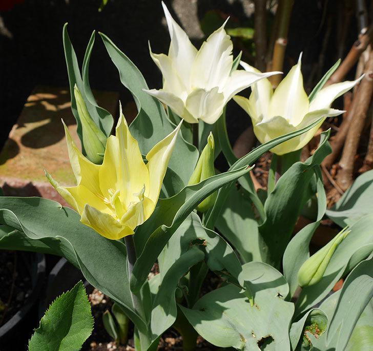 サッポロ(チューリップ)の花が白くなってきた。2018年-5.jpg