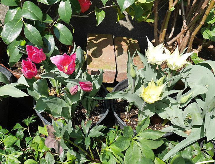 サッポロ(チューリップ)の花が白くなってきた。2018年-7.jpg