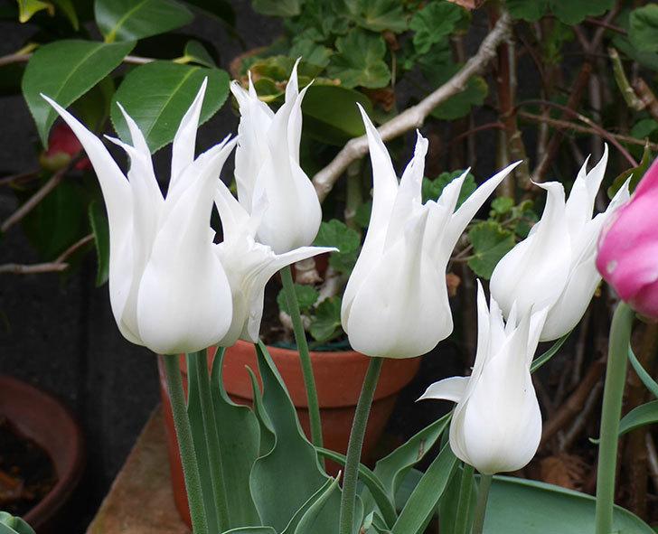 サッポロ(チューリップ)の花が真っ白になった。2018年-3.jpg