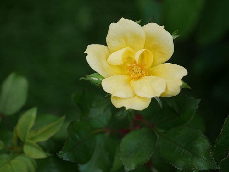 サニー ノックアウト(Sunny Knock Out)の花が咲いた。木立バラ。2020年-001.jpg