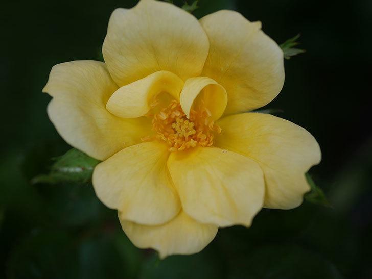 サニー ノックアウト(Sunny Knock Out)の花が咲いた。木立バラ。2020年-002.jpg