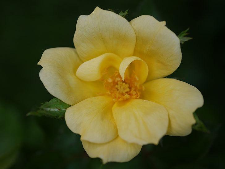 サニー ノックアウト(Sunny Knock Out)の花が咲いた。木立バラ。2020年-003.jpg