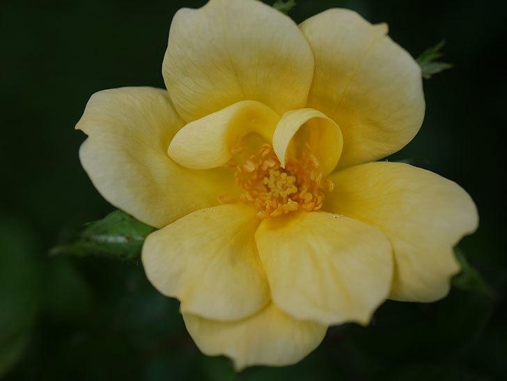 サニー ノックアウト(Sunny Knock Out)の花が咲いた。木立バラ。2020年-004.jpg