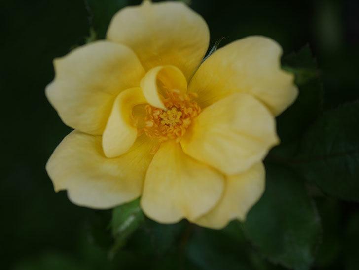 サニー ノックアウト(Sunny Knock Out)の花が咲いた。木立バラ。2020年-005.jpg
