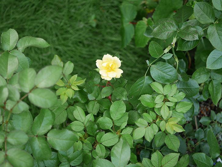 サニー ノックアウト(Sunny Knock Out)の花が咲いた。木立バラ。2020年-006.jpg