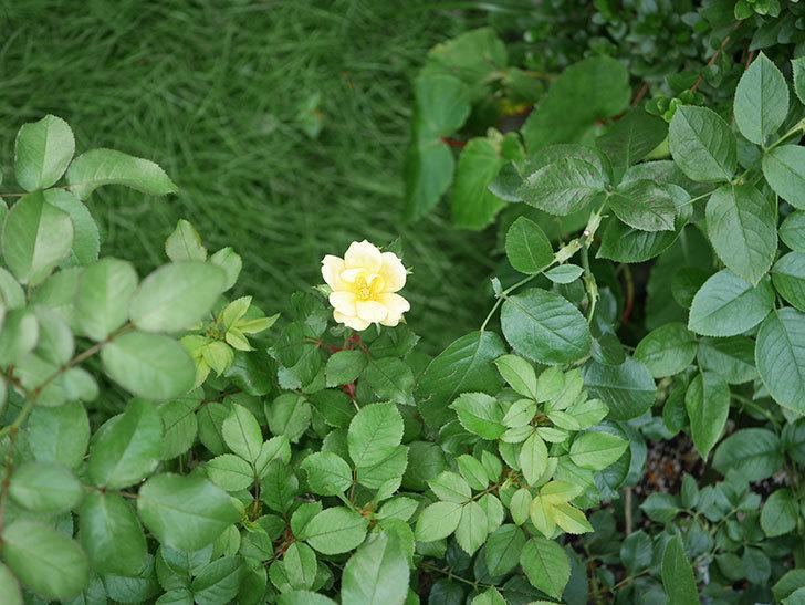 サニー ノックアウト(Sunny Knock Out)の花が咲いた。木立バラ。2020年-007.jpg