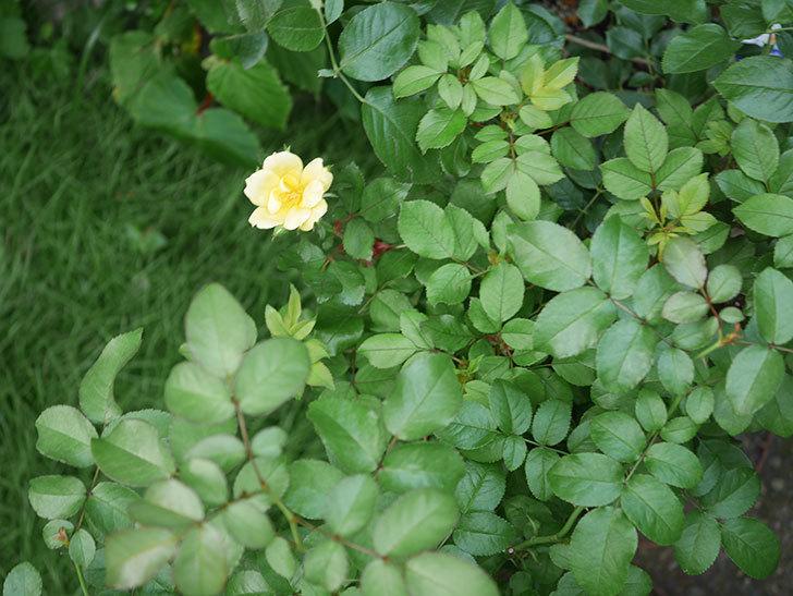 サニー ノックアウト(Sunny Knock Out)の花が咲いた。木立バラ。2020年-008.jpg