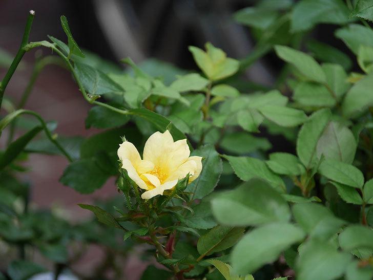 サニー ノックアウト(Sunny Knock Out)の花が咲いた。木立バラ。2020年-009.jpg