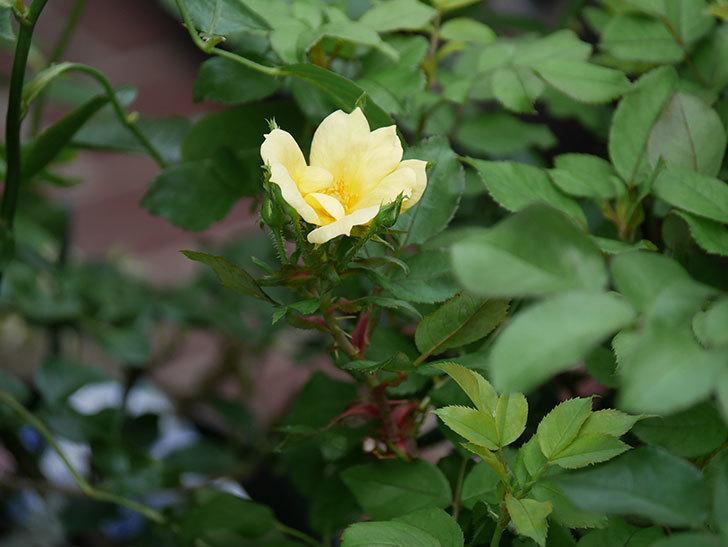 サニー ノックアウト(Sunny Knock Out)の花が咲いた。木立バラ。2020年-010.jpg
