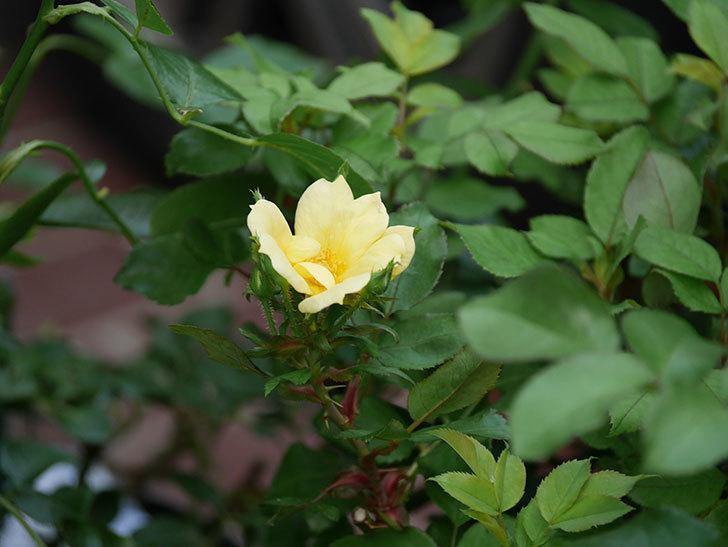 サニー ノックアウト(Sunny Knock Out)の花が咲いた。木立バラ。2020年-011.jpg