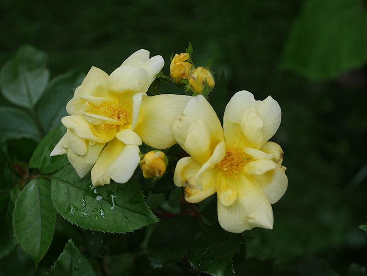 サニー ノックアウト(Sunny Knock Out)の花が増えてきた。木立バラ。2020年-001.jpg