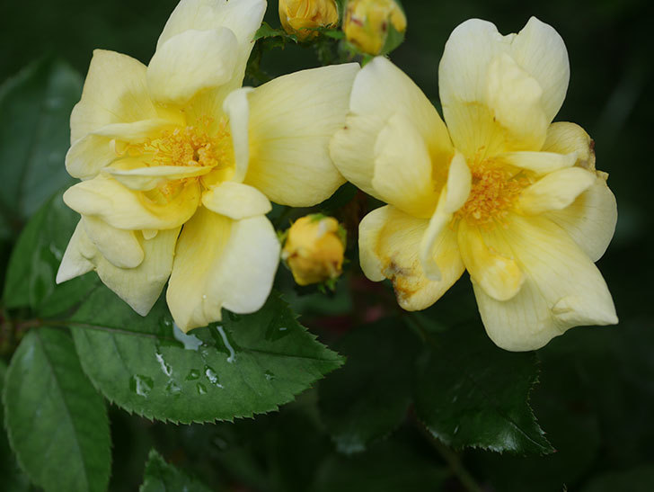 サニー ノックアウト(Sunny Knock Out)の花が増えてきた。木立バラ。2020年-002.jpg