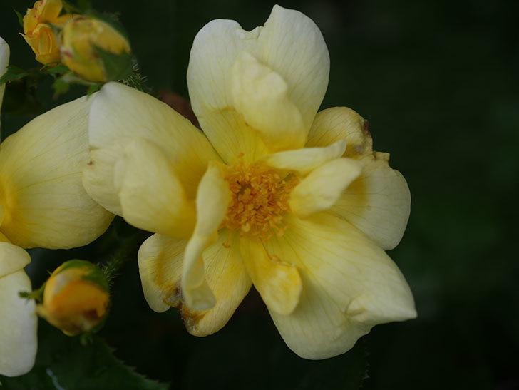 サニー ノックアウト(Sunny Knock Out)の花が増えてきた。木立バラ。2020年-003.jpg