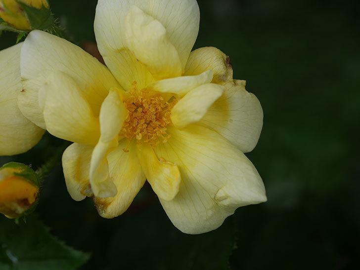 サニー ノックアウト(Sunny Knock Out)の花が増えてきた。木立バラ。2020年-004.jpg