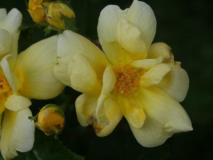 サニー ノックアウト(Sunny Knock Out)の花が増えてきた。木立バラ。2020年-005.jpg