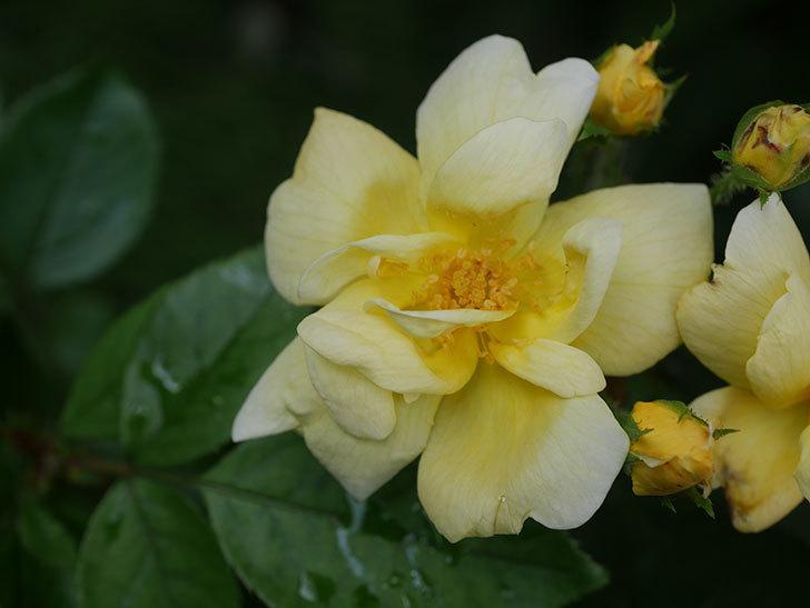 サニー ノックアウト(Sunny Knock Out)の花が増えてきた。木立バラ。2020年-006.jpg