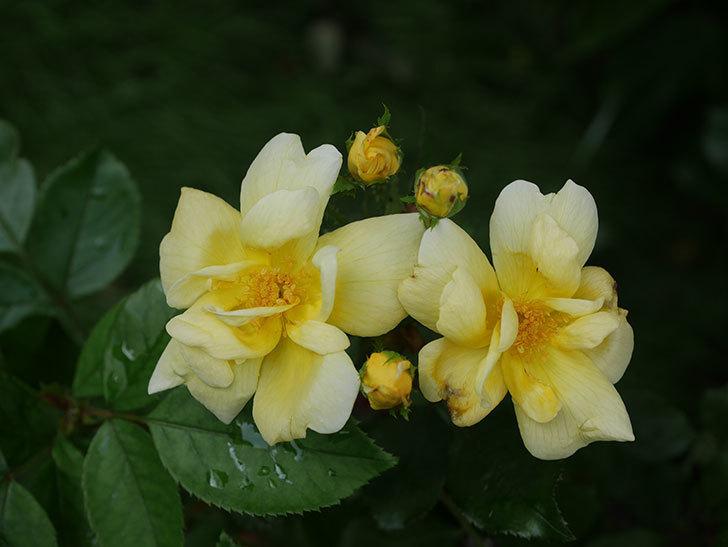 サニー ノックアウト(Sunny Knock Out)の花が増えてきた。木立バラ。2020年-007.jpg
