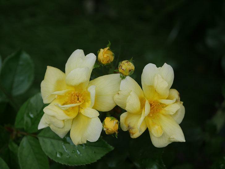 サニー ノックアウト(Sunny Knock Out)の花が増えてきた。木立バラ。2020年-008.jpg