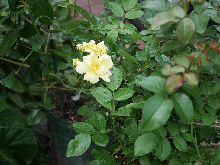 サニー ノックアウト(Sunny Knock Out)の花が増えてきた。木立バラ。2020年-009.jpg