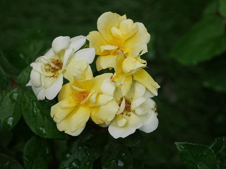 サニー ノックアウト(Sunny Knock Out)の花が増えてきた。木立バラ。2020年-010.jpg