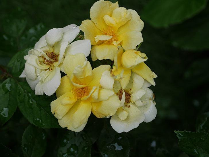 サニー ノックアウト(Sunny Knock Out)の花が増えてきた。木立バラ。2020年-011.jpg